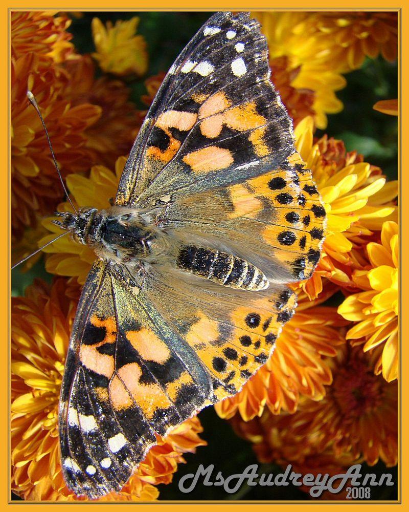 Aad-Butterfly-HR-B