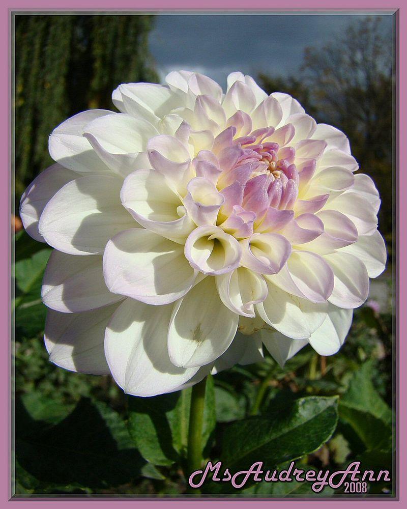 Aas-Dahlia-White-Lilac-HR
