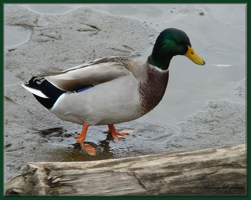 Aad-Duck-1