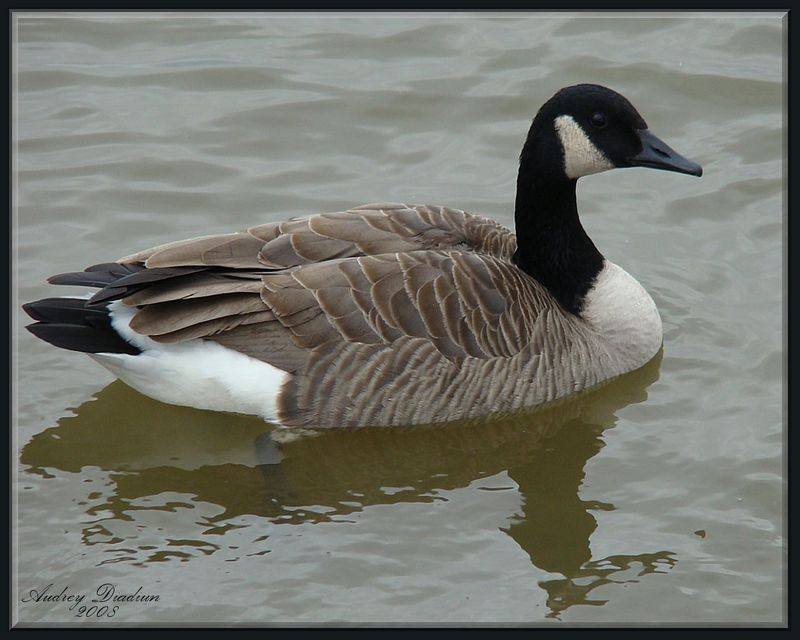 Aad-CanadianGoose-2
