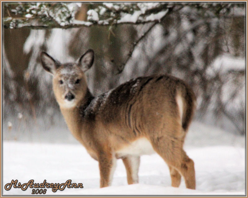 Aad-deer-snowface2