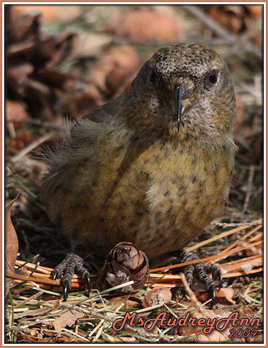 Aad-WhiteWingedCrossbill-female-A-sm-lr
