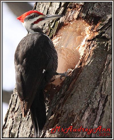 Aad-PileatedWoodpecker-3-2-09-sm-lr