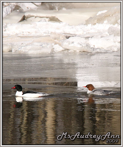 Aad-CommonMerganser-Pair-3-4-09-sm-lr