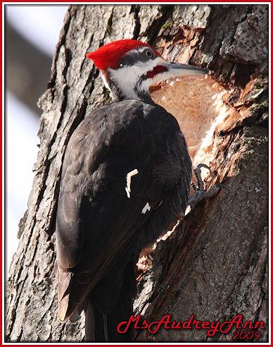 Aad-PileatedWoodpecker-3-2-09-woodchip-sm-lr