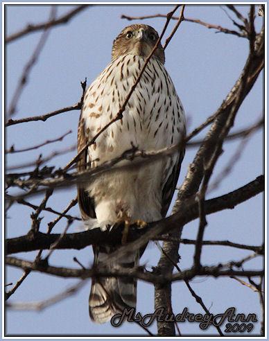 Aad-Hawk-3-12-09-sm-lr