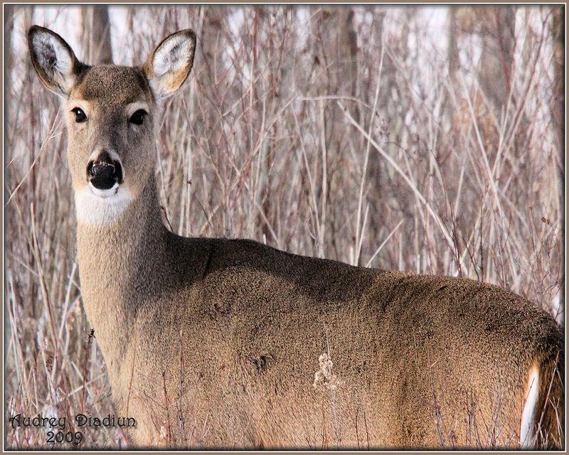 Aad-Deer-1-24-09