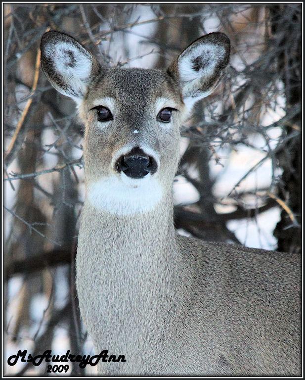 Aad-deer-2-07-09-sm