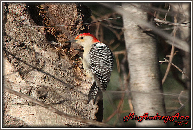 Aad-Red-BelliedWoodpecker-2-19-09-sm