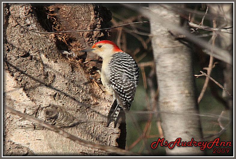 Aad-Red-BelliedWoodpecker-2-19-09-sm