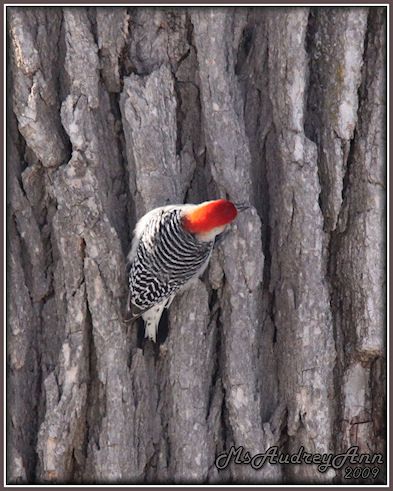 Aad-Red-BelliedWoodpecker-2-28-09-sm