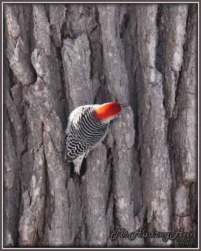 Aad-Red-BelliedWoodpecker-2-28-09-sm