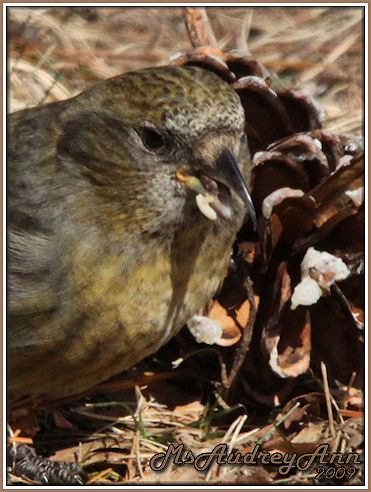 Aad-Female-WhiteWingedCrossbill-3-3-09-sm-lr-A