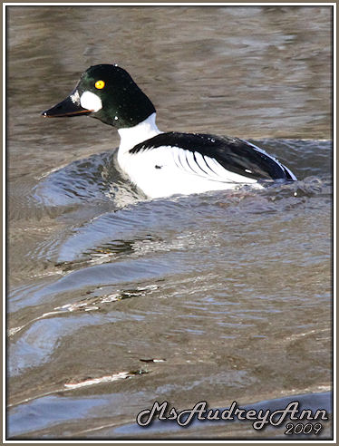 Aad-CommonGoldeneye-A-3-4-09-sm-lr