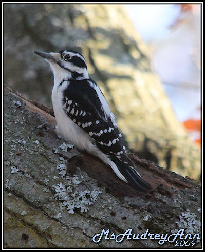 Aad-DownyWoodpecker-female-A-3-6-09-sm-lr