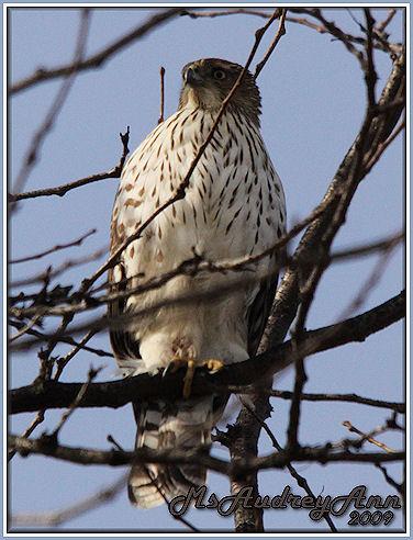 Aad-Hawk-3-12-09-sm-lr-B