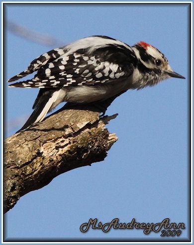 Aad-MaleDownyWoodpecker-3-15-09