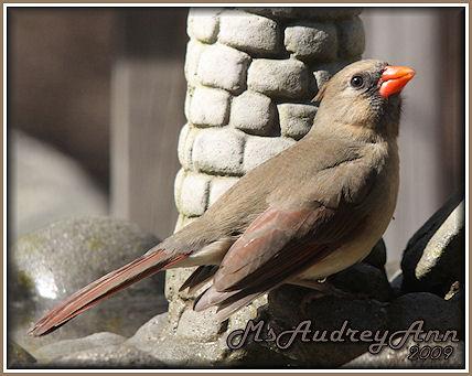 Aad-Cardinal-female-3-16-09
