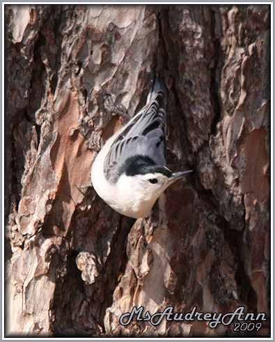 Aad-WhiteBrestedNuthatch-3-17-09-4523