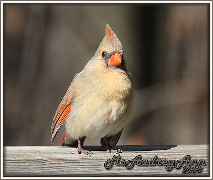 Aad-NorthernCardinal-female-3-20-09-4660