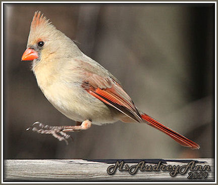 Aad-NorthernCardinal-female-3-20-09-4661