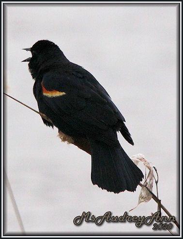 Aad-RedWingedBlackbird-3-22-09-4939