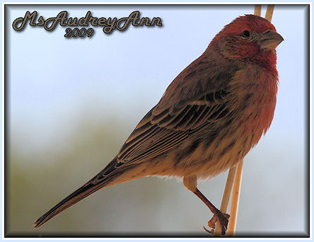 Aad-HouseFinch-3-23-09-4995