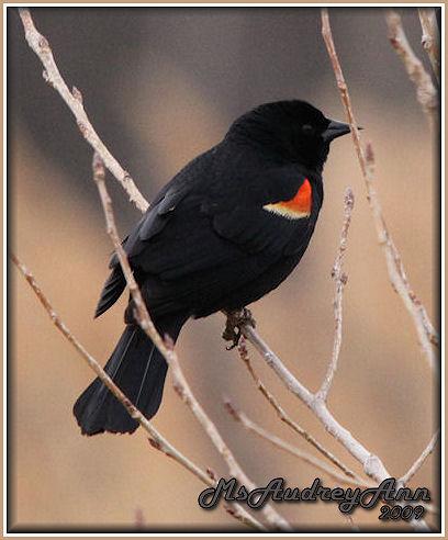 Aad-RedWingedBlackbird-male-3-27-09-5087