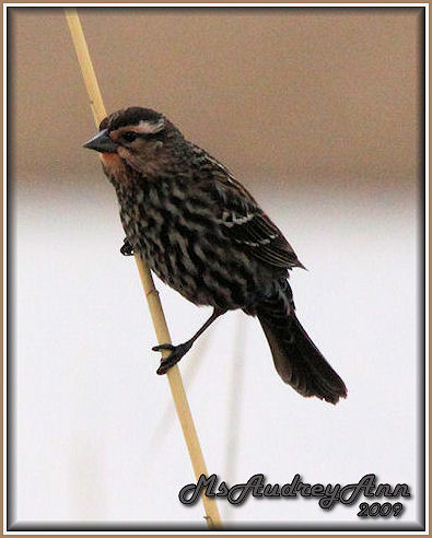 Aad-RedWingedBlackbird-female-3-27-09-5060