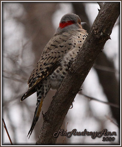 Aad-NorthernFlicker-male-3-28-09-5314
