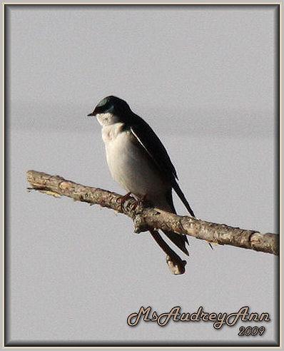 Aad-TreeSwallow-4-5-09-5703