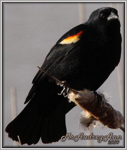 Aad-RedWingedBlackbird-4-5-09-5700