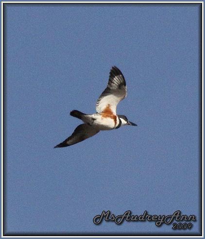 Aad-BeltedKingfisher-4-5-09-5705