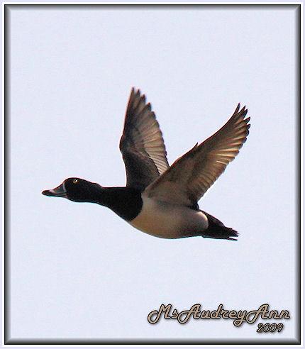 Aad-RingNeckedDuck-male-4-10-09-5774