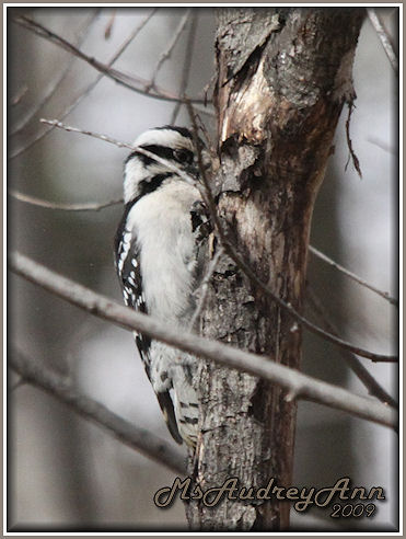 Aad-DownWoodpecker-female-3-19-09