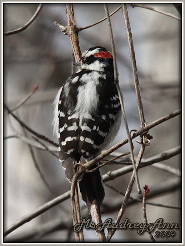 Aad-DownyWoodpecker-male-3-19-09