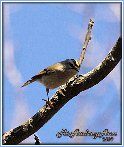 Aad-Golden-CrownedKinglet-4-12-09-6065