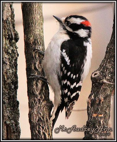 Aad-DownyWoodpecker-4-13-09-6099