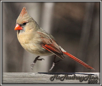 Aad-NorthernCardinal-female-3-20-09-4662