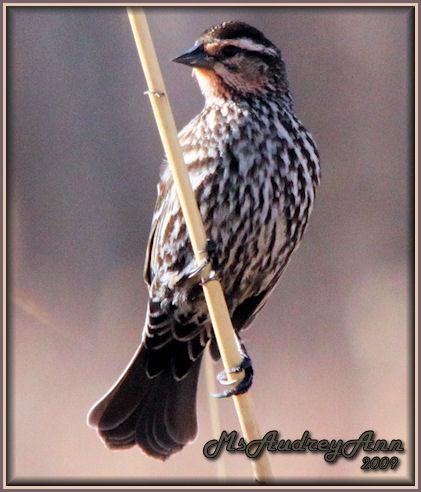 Aad-RedWingedBlackbird-female-4-16-09-6363