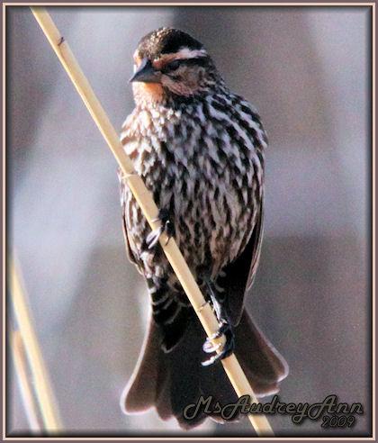 Aad-RedWingedBlackbird-female-4-16-09-6364
