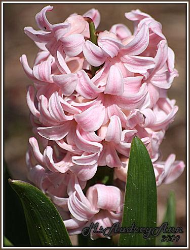 Aad-Hyacinthus-Pink-4-28-09-6905