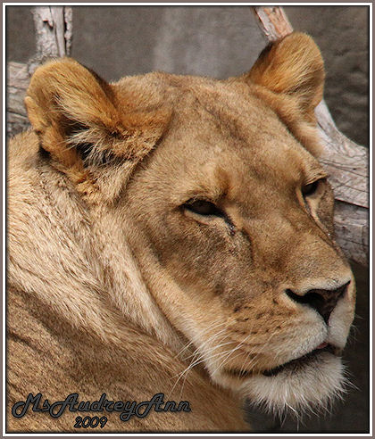 Aad-Lion-female-4-29-09-6976