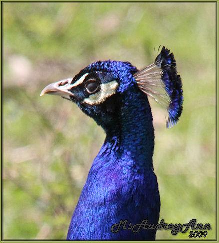 Aad-Peacock-4-29-09-7011