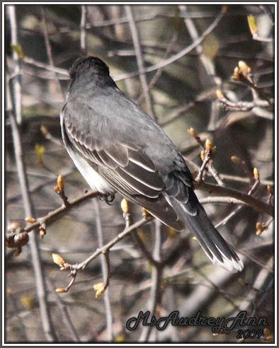 Aad-EasternKingbird-5-2-09-7260