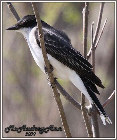 Aad-EasternKingbird-5-2-09-7263