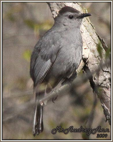 Aad-GrayCatbird-5-3-09-7315