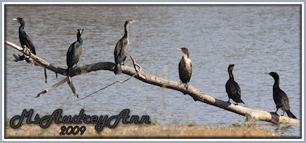 Aad-Double-Crested Cormorant-5-3-09-7297