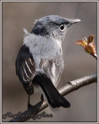 Aad-Blue-Gray Gnatcatcher-5-3-09-7339