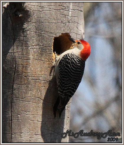 Aad-Red-BelliedWoodpecker-5-3-09-7347